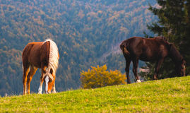 Horses in the Alps Stock Photo