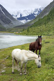 Horses in Altai Mountains, Russian Federation Royalty Free Stock Images