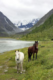 Horses in Altai Mountains, Russian Federation Stock Images