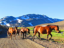 Horses in the Andes royalty free stock image