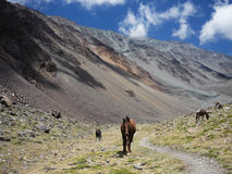 Horses in Argentinian Andes Stock Images
