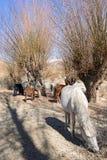 Horses around Indus River, Ladakh Stock Photography