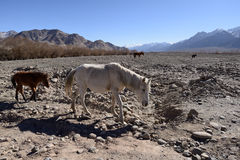 Horses around Indus River, Ladakh Royalty Free Stock Photography