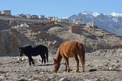 Horses around Indus River, Ladakh, India Royalty Free Stock Images