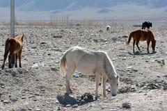 Horses around Indus River, Ladakh, India Stock Photos