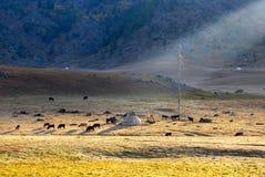 Horses around mongolian yurt Royalty Free Stock Images