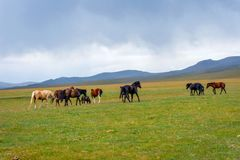 Horses around Song Kul lake, Kyrgyzstan. Herd of horses in misty green landscape by Song Kul lake, Kyrgyzstan Royalty Free Stock Images