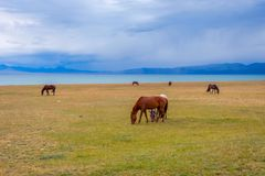 Horses around Song Kul lake, Kyrgyzstan. Herd of horses in misty green landscape by Song Kul lake, Kyrgyzstan Stock Photos