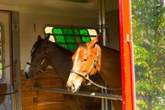 Horses arriving at a training facilty in florida Stock Photos