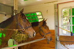 Horses arriving at a training facilty in florida Royalty Free Stock Photo