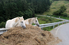 Horses. Asturias Royalty Free Stock Images