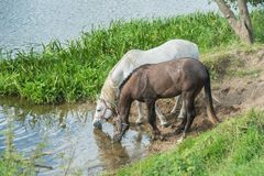 Free Horses At A Watering Place On The River Royalty Free Stock Image - 108857126
