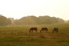 Horses At Dawn Royalty Free Stock Photography