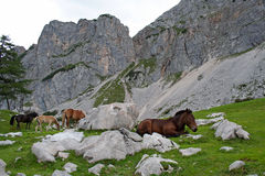 Horses in Austria mountain Stock Photos