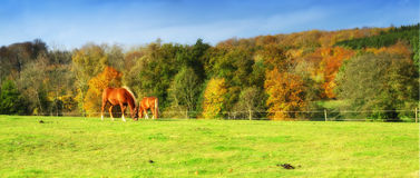 Horses in autumn Royalty Free Stock Image
