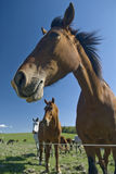 Horses in the autumn Stock Photography