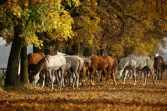 Horses in autumn royalty free stock photos