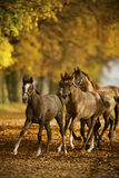 Horses in autumn Stock Image