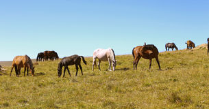 Horses On The Autumn Caucasus Meadow Stock Photo