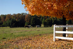 Horses in autumn field Stock Images