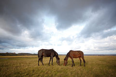 Horses in the autumn field Royalty Free Stock Image