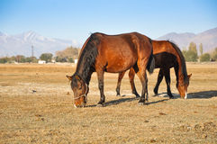 Horses on the autumn meadow on the background mountains Royalty Free Stock Photos