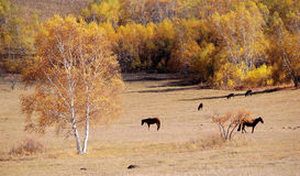Horses in autumn prairie with birch trees Royalty Free Stock Photo