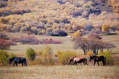 Horses in autumn prairie. Horses in prairie in autumn royalty free stock photography