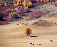 Horses in autumn prairie. Horses in prairie with colorful trees in autumn stock images