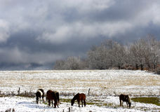 Horses in Autumn Snow Stock Photo