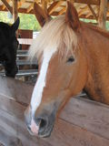 Horses in a barn Royalty Free Stock Photo