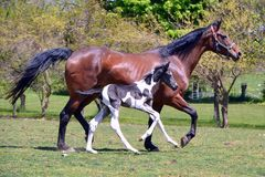 Horses 141. Bay Oldenburg warmblood mare in spring trotting with newborn pinto colt running beside her Royalty Free Stock Photo