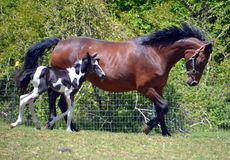 Horses 142 Royalty Free Stock Photos