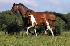 Horses 115. Bay and white Tobiano Pinto German Oldenburg warmblood foal trotting next to his mother, a bay German Oldenburg mare Stock Images