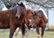 Horses 134 Royalty Free Stock Photography