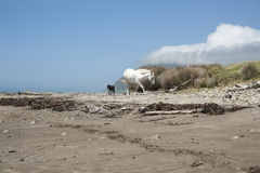 Horses on beach Royalty Free Stock Image