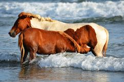 Horses at the beach, Playa El Espino Stock Image