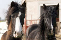 Horses behind barbed wire Royalty Free Stock Photos