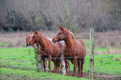 Horses behind a barbed wire fence. A group of Horses in East-Flanders, Belgium, behind a barbed wire fence royalty free stock images