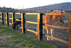 Horses behind a fence at sunset Royalty Free Stock Images