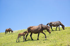 Horses being moved Royalty Free Stock Image