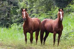 Horses in Belize Stock Images