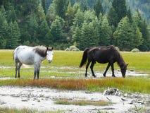 Horses at billabong of Kali Gandaki river, Nepal Royalty Free Stock Image