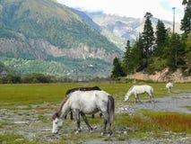 Horses at billabong of Kali Gandaki river, Nepal Stock Image
