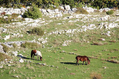 Horses in Biokovo Nature Park, Croatia Royalty Free Stock Photo