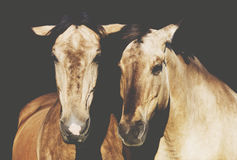 Horses on black background close up stock image