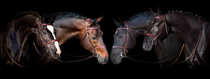 Horses on black. Horses portrait in bridle on black background. Banner for website royalty free stock images