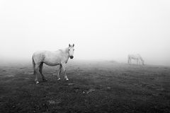 Horses in black and white Royalty Free Stock Photography