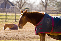 Horses in Blankets Stock Photography