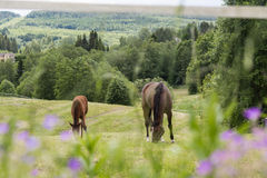 Horses and blurry flowers Stock Photography